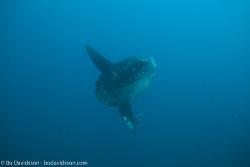 BD-141023-Nusa-Penida-6046-Mola-mola-(Linnaeus.-1758)-[Ocean-sunfish.-Klumpfisk].jpg